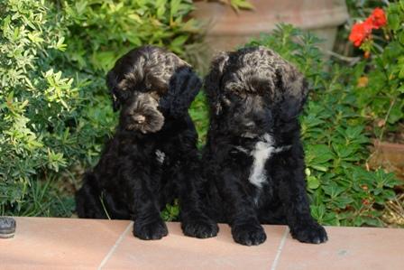 Portuguese Water Dog And Bolognese Dog Breeder Do Lusiadas